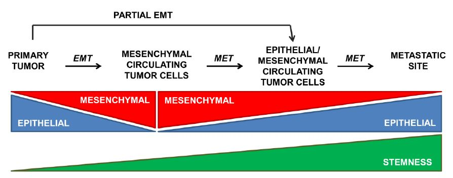 foto Those cells with the greatest capacity as tumor initiators are not those of the mesenchymal type, but those that express an epithelial-mesenchyme intermediate phenotype, which would combine stemness with a greater migratory potential